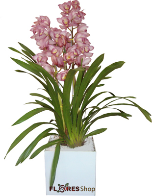 1806 Orquídea & Amor
