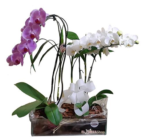 2479 Luxuosas Orquídeas