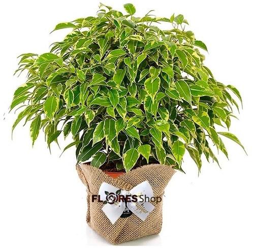 3573 Vaso Grande de Ficus