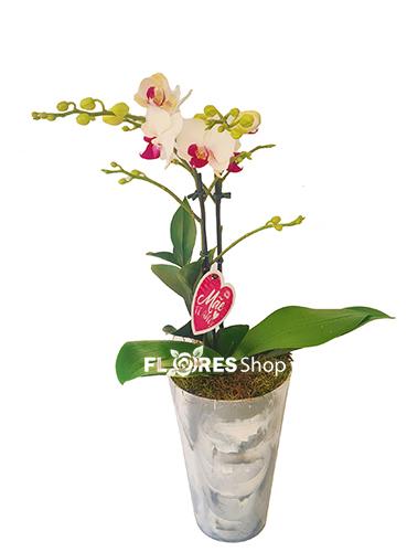 4865 ❤  Amo Mini Orquídea ❤